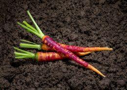 Mini carotte pourpre