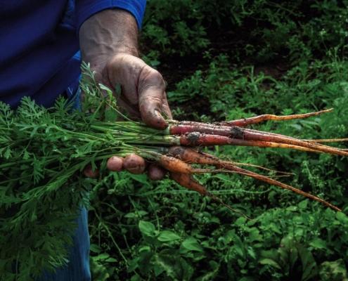 Mini-carottes du jardin d'Eric Roy récoltées à la main